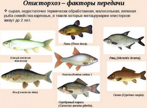 Описторхоз в какой рыбе бывает: список с фото и названиями